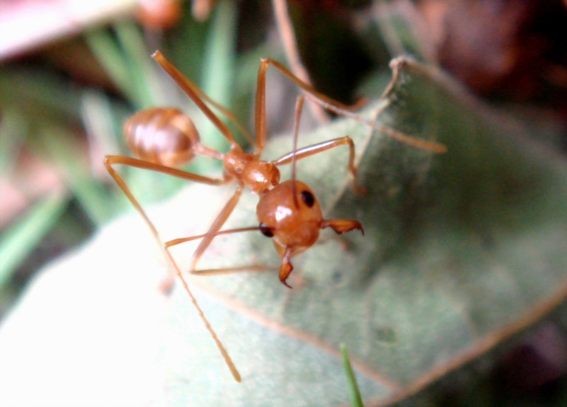 Weaver Ants (Family: Formicidae, Genus: Oecophylla) - Wiki; DISPLAY FULL IMAGE.