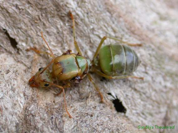 Oecophylla Queen - Green Tree Ant (Oecophylla smaragdina) or weaver ant.jpg