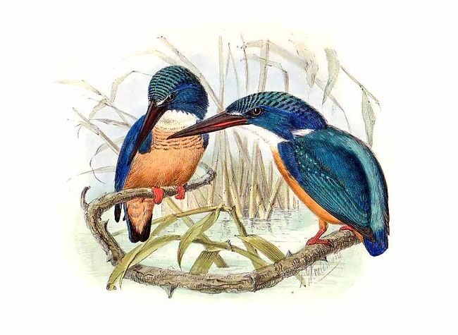 Half-collared Kingfisher (Alcedo semitorquata) - Wiki; Image ONLY