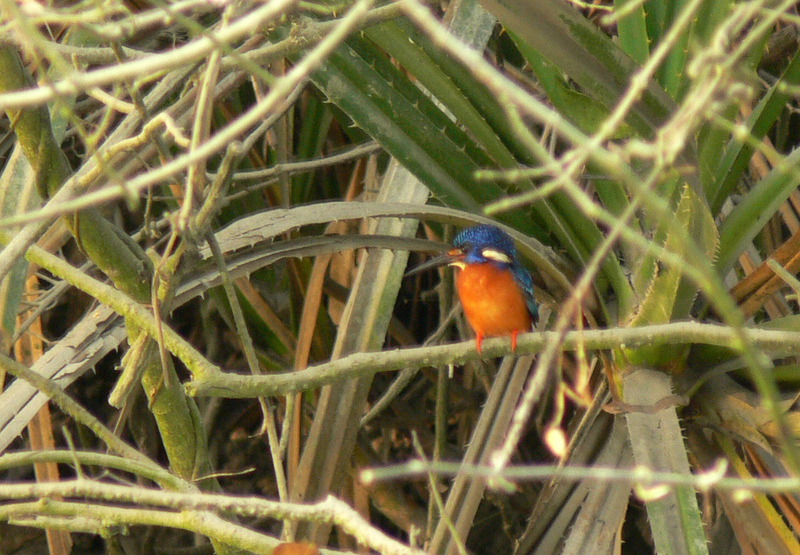 Blue-eared Kingfisher (Alcedo meninting) - Wiki; DISPLAY FULL IMAGE.