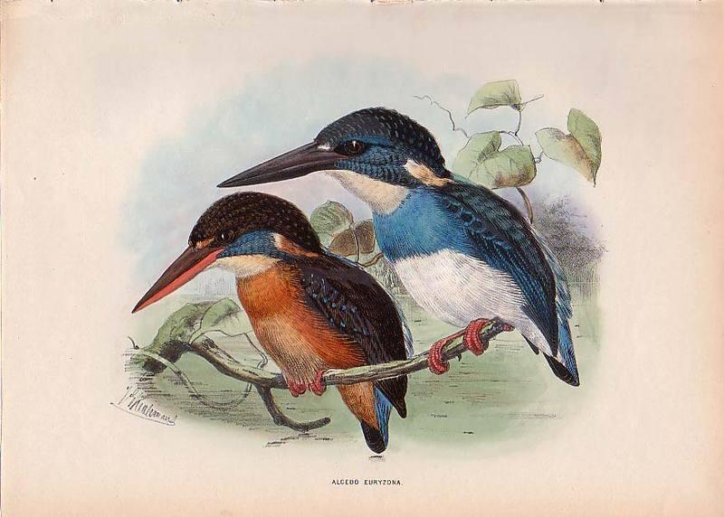 Blue-banded Kingfisher (Alcedo euryzona).jpg