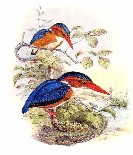 White-bellied Kingfisher (Alcedo leucogaster) - Wiki; Image ONLY