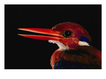 Philippine Dwarf Kingfisher (Ceyx melanurus) - Wiki; Image ONLY