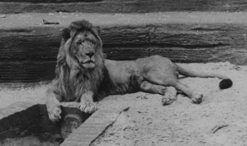 Barbary Lion (Panthera leo leo) - Wiki; DISPLAY FULL IMAGE.