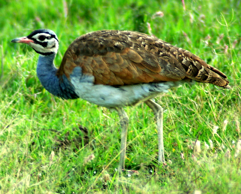 White-bellied Bustard (Eupodotis senegalensis) - Wiki; DISPLAY FULL IMAGE.