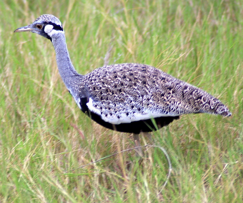 Black-bellied Bustard (Lissotis melanogaster) - Wiki; DISPLAY FULL IMAGE.