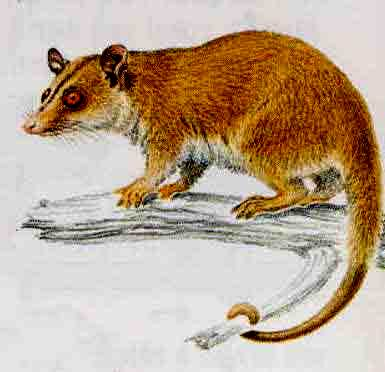 Brown-eared Woolly Opossum (Caluromys lanatus) - Wiki; Image ONLY