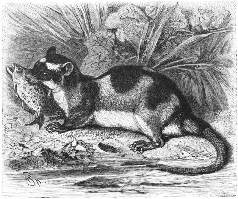 Water Opossum (Chironectes minimus) - Wiki; DISPLAY FULL IMAGE.