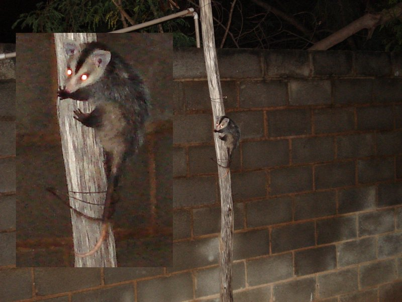 White-eared Opossum (Didelphis albiventris) - Wiki; DISPLAY FULL IMAGE.