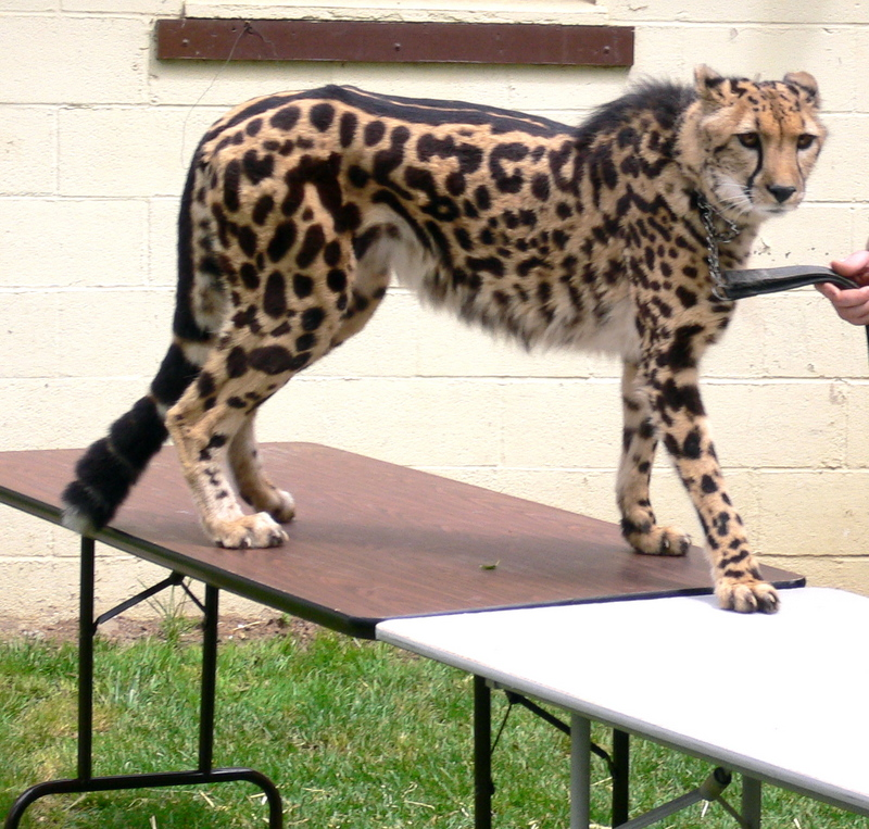 King Cheetah (Acinonyx jubatus) - Wiki; DISPLAY FULL IMAGE.
