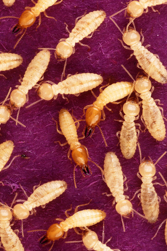 Termite (Order: Isoptera) - Wiki; Image ONLY