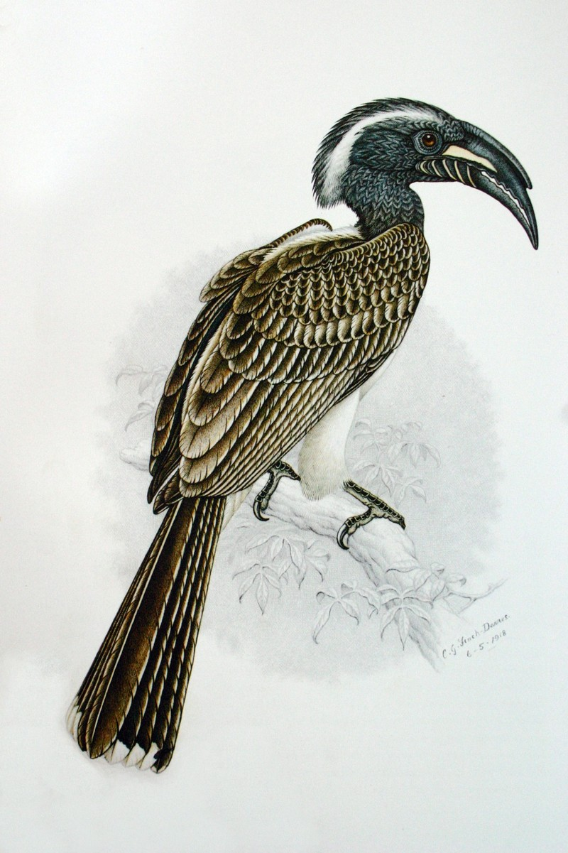 African Grey Hornbill (Tockus nasutus) adult male; DISPLAY FULL IMAGE.