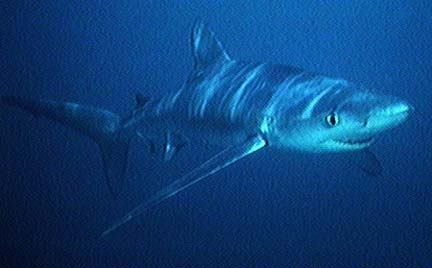 Blue Shark (Prionace glauca) - Wiki; Image ONLY
