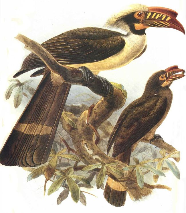 Luzon Hornbill (Penelopides manillae) - Wiki; Image ONLY