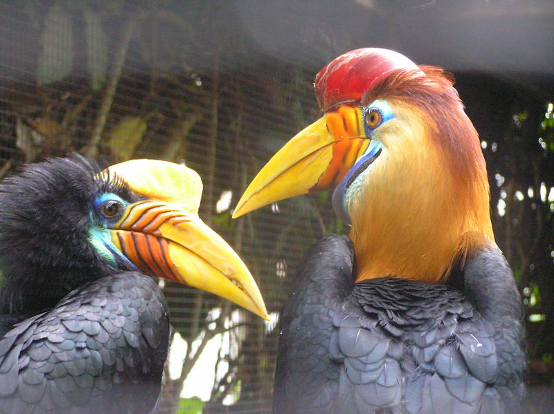 Knobbed Hornbill (Aceros cassidix); DISPLAY FULL IMAGE.