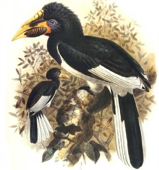 Piping Hornbill (Bycanistes fistulator) - Wiki; Image ONLY