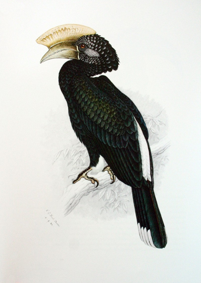 Silvery-cheeked Hornbill (Bycanistes brevis) painting; DISPLAY FULL IMAGE.