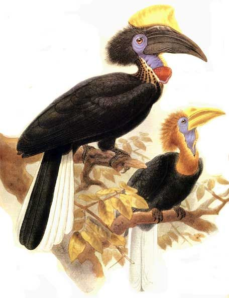 Yellow-casqued Hornbill (Ceratogymna elata) - Wiki; Image ONLY