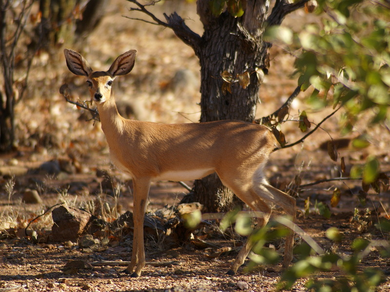 Steenbok (Raphicerus campestris) - Wiki; DISPLAY FULL IMAGE.