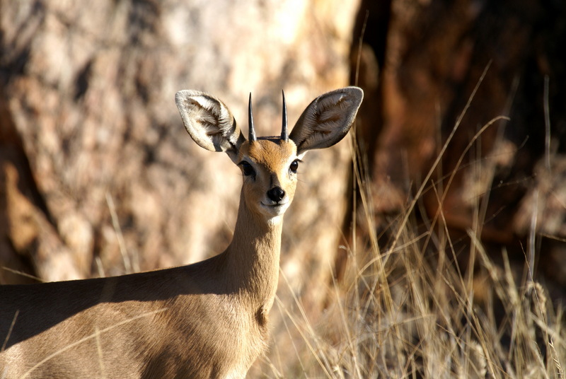 Steenbok (Raphicerus campestris) male; DISPLAY FULL IMAGE.