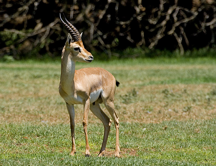 Mountain Gazelle (Gazella gazella) - Wiki; Image ONLY