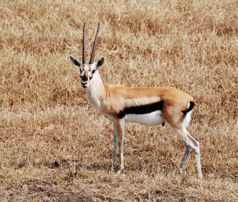 Thomson's Gazelle (Gazella thomsoni) - Wiki; DISPLAY FULL IMAGE.