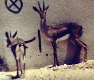 Queen of Sheba's Gazelle (Gazella bilkis) - Wiki; Image ONLY