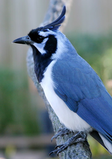 Black-throated Magpie-jay (Calocitta colliei) - Wiki; Image ONLY