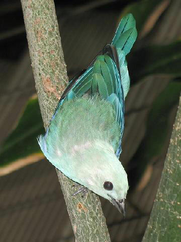 Blue-gray Tanager (Thraupis episcopus) - Wiki; Image ONLY
