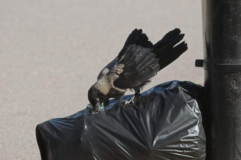 Hooded Crow (Corvus cornix) waste bag.jpg
