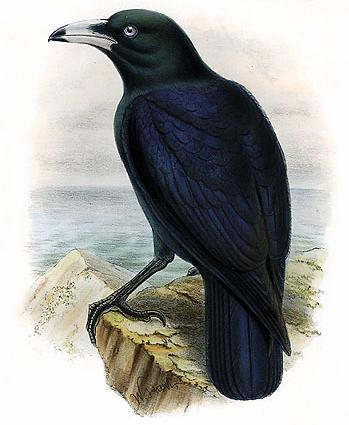 White-billed Crow (Corvus woodfordi) - Wiki; Image ONLY