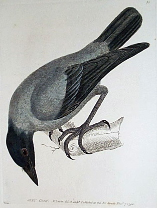 Grey Crow (Corvus tristis) - Wiki; Image ONLY