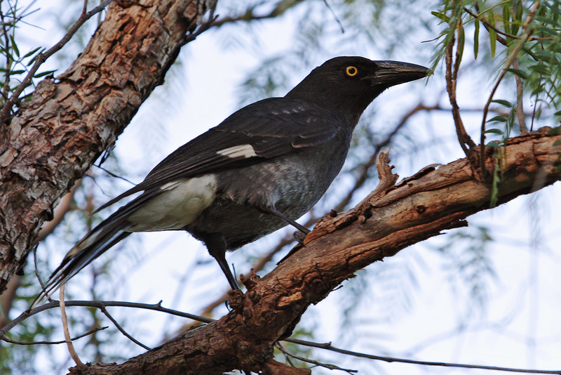 Pied Currawong (Strepera graculina) - Wiki; DISPLAY FULL IMAGE.