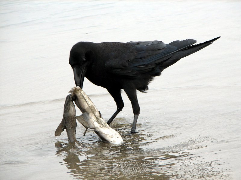 Raven scavenging on a dead shark-Jungle Crow (Corvus macrorhynchos).jpg