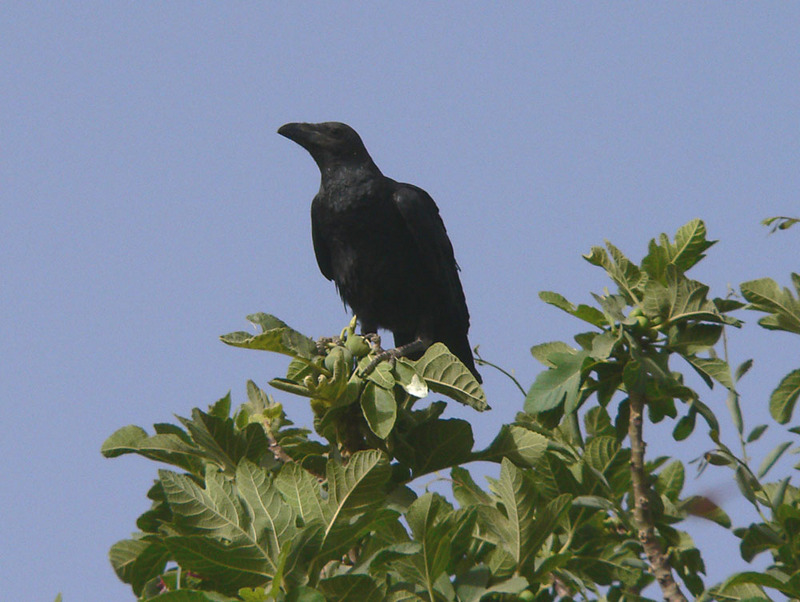 Brown-necked Raven (Corvus ruficollis) - Wiki; DISPLAY FULL IMAGE.
