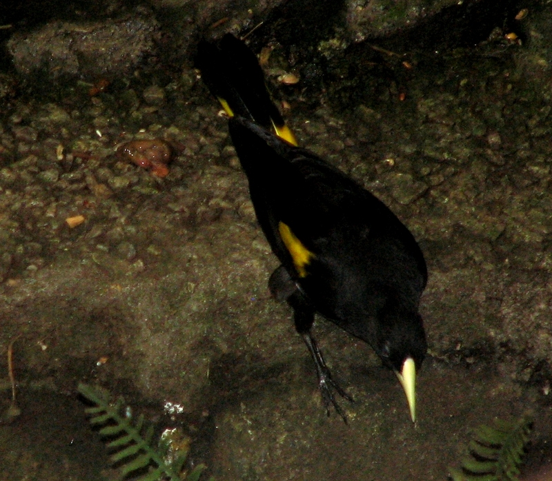 Yellow-rumped Cacique (Cacicus cela) - Wiki; DISPLAY FULL IMAGE.