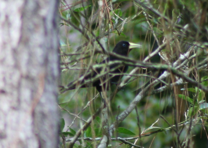 Red-rumped Cacique (Cacicus haemorrhous) - Wiki; Image ONLY