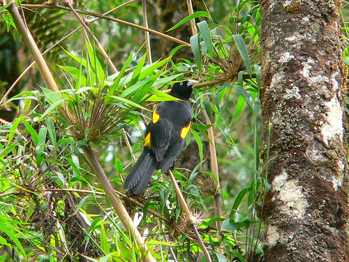 Mountain Cacique (Cacicus chrysonotus) - Wiki; Image ONLY