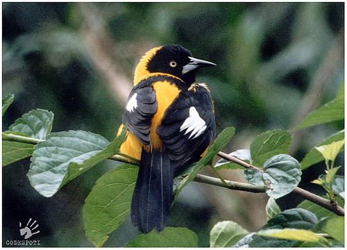 Yellow-backed Oriole (Icterus chrysater) - Wiki; Image ONLY