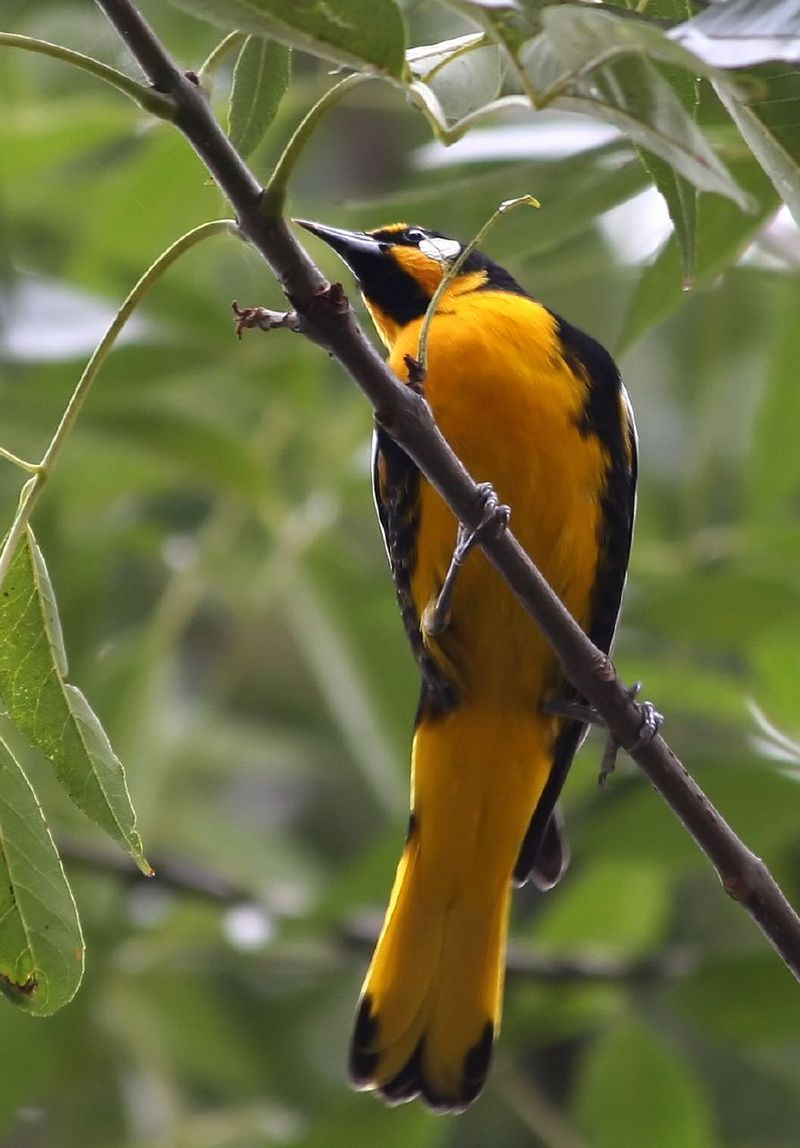 Black-backed Oriole (Icterus abeillei) - Wiki; DISPLAY FULL IMAGE.