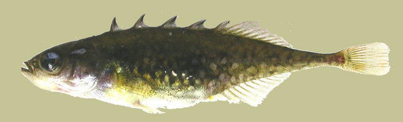 Brook Stickleback (Culaea inconstans); DISPLAY FULL IMAGE.