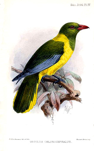 Green-headed Oriole (Oriolus chlorocephalus) - Wiki; Image ONLY