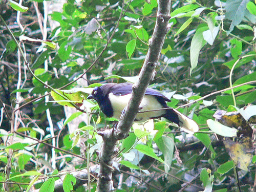 Black-chested Jay (Cyanocorax affinis) - Wiki; Image ONLY