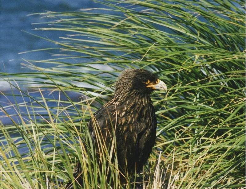 Striated Caracara (Phalcoboenus australis); DISPLAY FULL IMAGE.