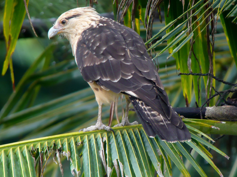 Yellow-headed Caracara (Milvago chimachima) - Wiki; DISPLAY FULL IMAGE.