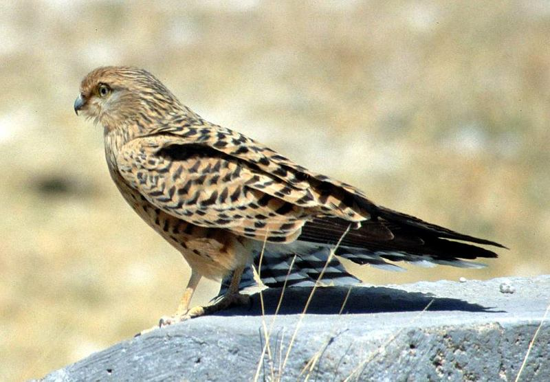 Greater Kestrel (Falco rupicoloides) - Wiki; DISPLAY FULL IMAGE.