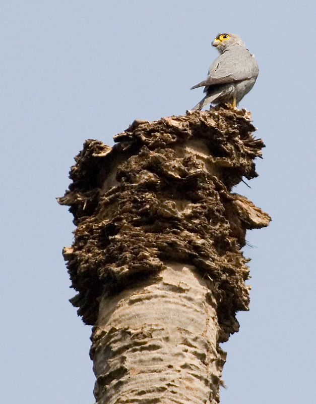 Grey Kestrel (Falco ardosiaceus) - Wiki; Image ONLY