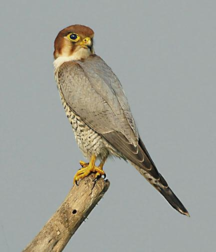 Red-necked Falcon (Falco chicquera) - Wiki; Image ONLY