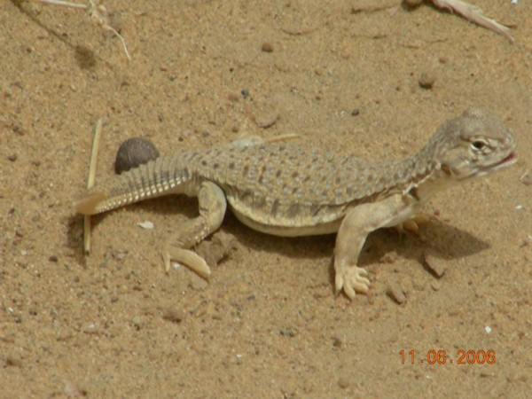Indian spiny-tailed lizard (Uromastyx hardwickii) juvenile ...