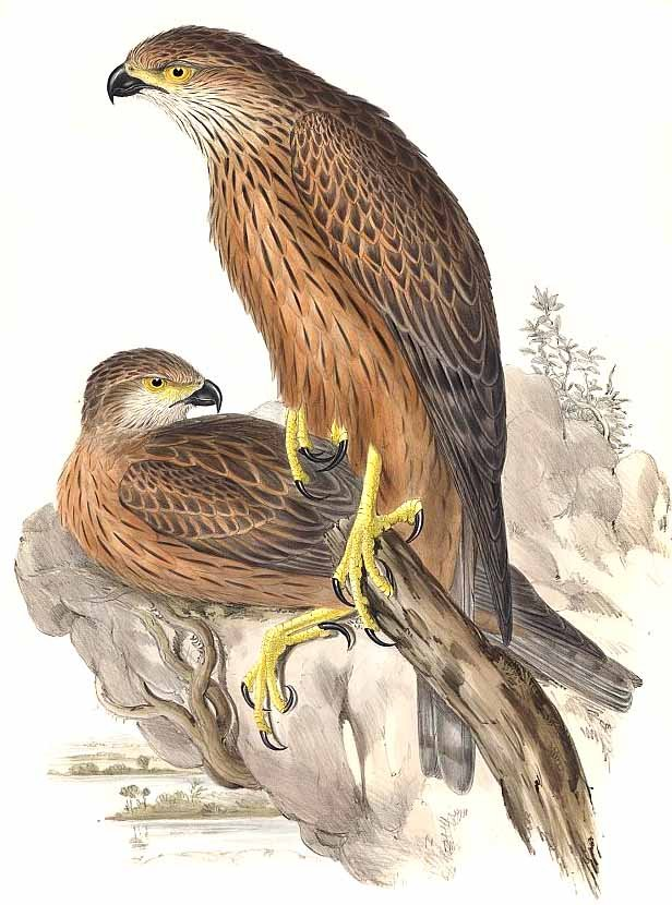 Red Goshawk (Erythrotriorchis radiatus) - Wiki; Image ONLY